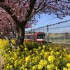 【アラ還さんぽ】朝撮り。三浦海岸の早咲き桜と菜の花と。