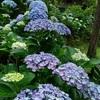 紫陽花の華やぐ小径 蜜の宿