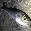 初心者でも絶対に釣れる釣り方を詳しく解説します。愛知県知多半島でぶっこみ釣りに挑戦!!
