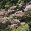 兵庫県高砂市)鹿島・扇平自然公園(四季の森)。桜きれい。ツツジも。