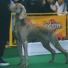 WEIMARANER (SHORTHAIRED)