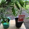 家庭菜園 日記ep1  トマト
