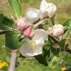 リンゴの花が咲きました