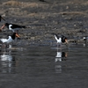 干潟の野鳥 & カケスの栗運び