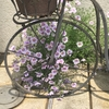 こぼれ種で咲いたニーレンベルギア