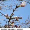 桜ウォッチング