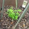 デパスショックその後⑤セントジョーンズワートの苗を植えてみた