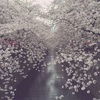 fog of cherry trees
