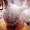 サヨナラの準備 ~膝の上の猫(石破紫蘭さん♀)の温もりを感じる~