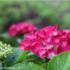 フォトブログ 長居植物園の華やかな紫陽花に見惚れる。CANON EOS 9000Dで初フォト散歩。