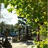 江ノ電 龍口寺の銀杏 2008年版その2