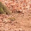 暮れなずむ林でのトラツグミ
