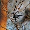 早朝探鳥、井の頭公園の野鳥。