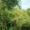寄生植物ネナシカズラの不思議 川や畑でラーメンをこぼしたような黄色い糸を見かけたら要注意