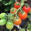 ミニトマト グラデーション
