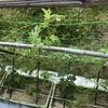 【家庭菜園】今日のゴーヤ(2017年06月05日)  伸びてきた‼️