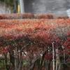 ドウダンツツジの紅葉 歳末玉手箱ウグイス