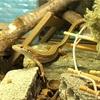 カナヘビを亀の餌の餌付けに成功!!その記録