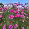 長居植物園のコスモス畑へ行ってきた!撮影スポットはピンクのドア
