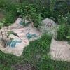 現在の綿のすがた~雑草対策に麻袋を敷く