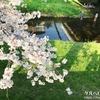 【多摩散歩】野川へ桜を見にに行ってきました~その2~