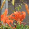 オニユリの花 !(7月5日)