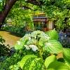 京都ぶらり いつもの祇園白川 紫陽花