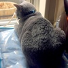 【今日のロシアンブルー】猫ちゃんあるある・飲み物には気を付けろ!の巻~