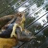 アズマヒキガエルを捕まえて食べてみた
