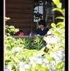 シュルツカフェも紫陽花