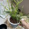 【ミルクブッシュ】こちらもプラ鉢へ植え替え。圧倒的プラ鉢ブーム!