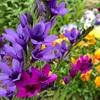 【バビアナ】イキシア・スパラキシスとの違いは?〜我が家の花壇、3種揃い踏み!〜