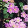 ネパ-ルの樹木と花 第49回目