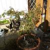 バラ鉢植え 植え替え作業 開始