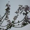 今年は桐の花と藤が当たり年かな?