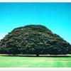 ハワイに行ったことがない僕が感じるハワイの魅力①この木なんの木がある!
