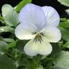 ビオラ、パンジーの開花、季節外れの花々