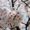 にっき:バイト、地備餌、桜