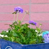 増えた苗とバラの芽吹き