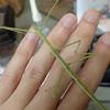 枝にそっくりな虫 ナナフシモドキとはどんな虫?
