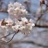 都内も桜開花宣言が出てすっかり・・・