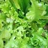 家庭菜園。「ばんざい!ミニレタス。」