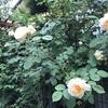 バラ栽培講座(22) バラ栽培でのコガネムシ対策