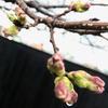 桜はもう少し。。。