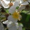 ノイバラ 野ばら Rosa multiflora