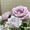 青い薔薇 ⭐️ ブルームーンとブルータイム を見ぃつけた ⭐️