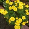 雨のマリーゴールド(聖母マリアの黄金の花)