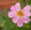 庭にピンクのコスモスが咲いた~♪