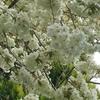 黄桜🌸満開‼️