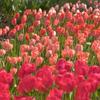 色とりどり:チューリップ公園